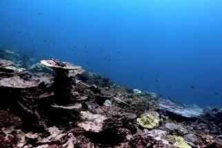 搶救最後的珊瑚礁!