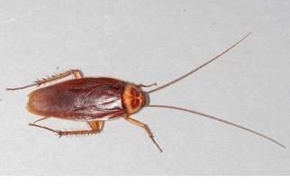 蟑螂,你為什麼會爬進人的耳朵?