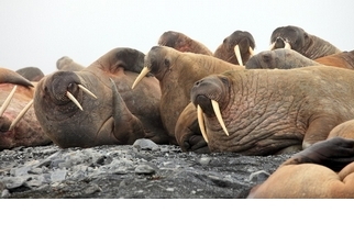 【動物好朋友】海象(Walrus)