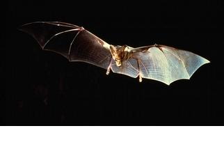 【動物好朋友】吸血蝙蝠(Vampire bat)