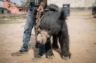 尼泊爾最後已知的跳舞熊獲得救援