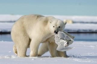 成果豐碩:獵食的北極熊