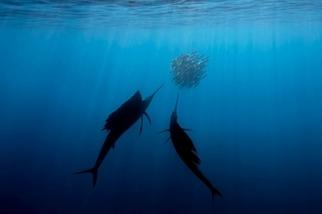 海中泳將:雨傘旗魚