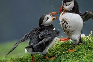 大西洋海雀:巢穴之爭