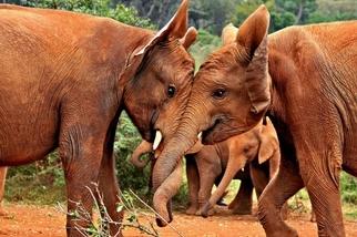 重獲新生:肯亞孤兒象