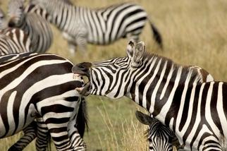 斑馬為什麼會有條紋?