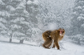 非洲最後獼猴