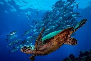 潛水夫之眼:海龜與鰺