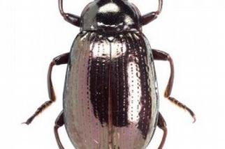 墾丁發現3種擬步行蟲新種