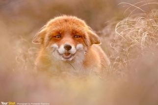 滑稽的狐狸