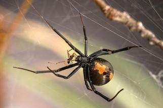 牡丹花下死?雄寡婦蜘蛛可不這麼想