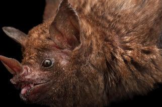 蝙蝠遭殺害,只因有些人想喝蝙蝠血治病