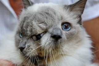 雙面貓傳奇