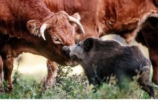 野豬為什麼要和一群乳牛做朋友?