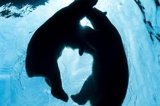 北極熊探戈舞