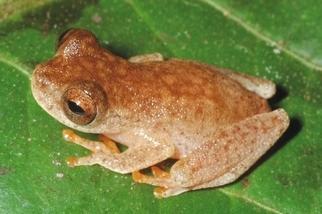 亞馬遜雨林發現新種「蝙蝠蛙」