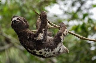 為什麼蝙蝠和樹懶倒掛卻不會頭暈?