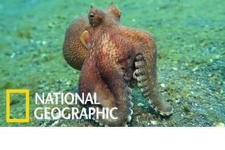 這隻章魚為什麼走起路來怪怪的?絕對不是尿急喔!