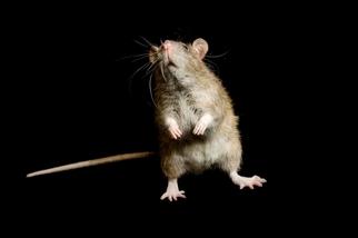 「老鼠其實很冤枉?」或許黑死病不能怪罪老鼠
