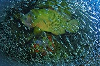 拿破崙入侵:波紋唇魚