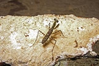 發現19種螳螂新物種