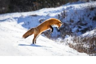 捉老鼠的狐狸