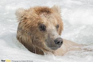 沿海棕熊的肖像