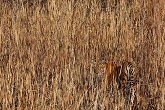 老虎,在印度的河谷