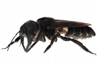 消失幾十年後野外現蹤!世界上最大的切葉蜂原來沒絕種