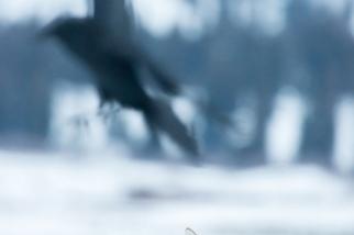 郊狼與渡鴉