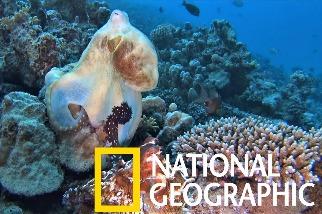 「牽到手就懷孕?」雄性章魚有一根觸手其實是生殖器
