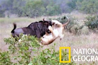 當兩頭年輕的「肉腳」獅子對上牛羚