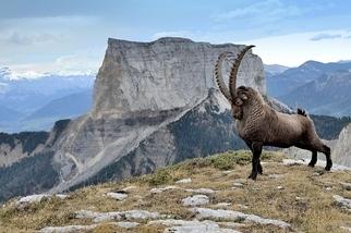 驚人的羱羊