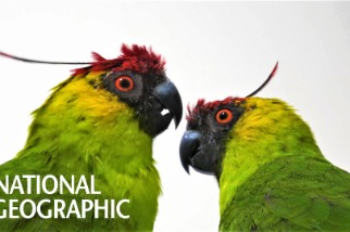 可愛又靈巧的鸚鵡正面臨著什麼樣的危機?