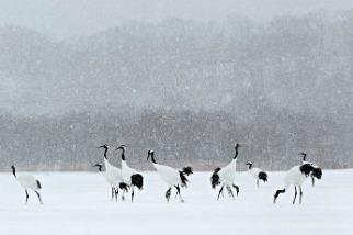 暴風雪中的丹頂鶴