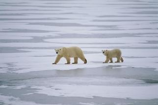 新研究指出,北極熊飲食有70%來自......海冰?!