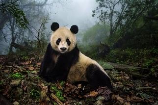 大貓熊重回野外