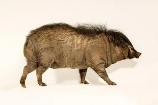 快來看看這種有龐克頭的極危「搖滾豬」