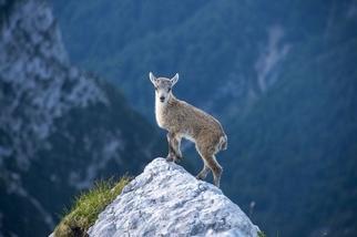 年輕的阿爾卑斯羱羊