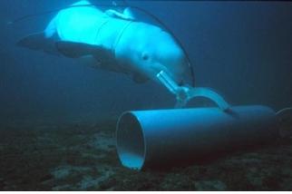標記水雷、探查敵情、擊殺入侵者?看看現代軍隊如何訓練戰鬥海豚