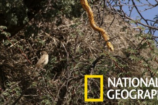 當群居織巢鳥遇上飢餓的黃金眼鏡蛇