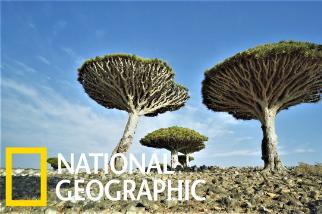 蘇庫特拉島上的千年「龍血樹」