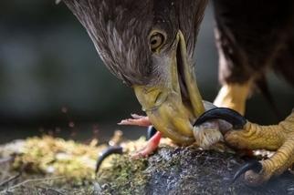 用餐中的老鷹