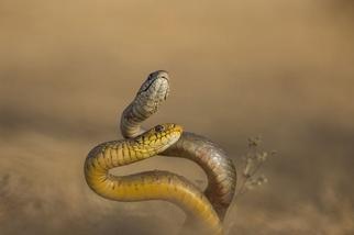 交配中的蛇