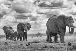象群走過乾旱的大地