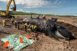 最近發生的六起死亡事件,讓這種稀有鯨魚離滅絕又更近了一步