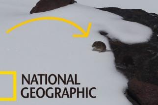 「無鼠不在!」世界上海拔分布最高的哺乳類是……老鼠?