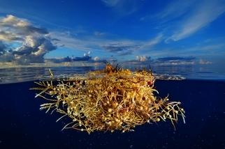 餵飽北大西洋的海藻