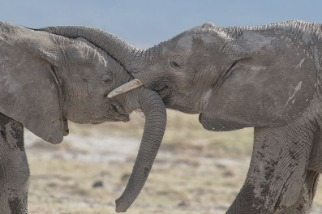 人類的榜樣——大象
