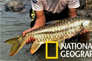 不丹王國的神聖黃金魚:黃鰭結魚